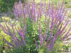 полевые придорожные цветы