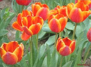 семейство тюльпанов