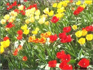 тюльпаны разноцветные