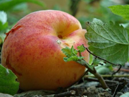 Когда созревают фрукты в Сербии