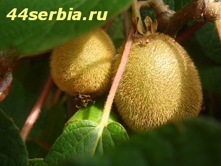Киви Сербия