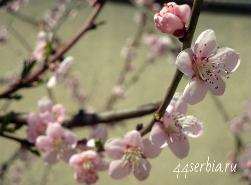 Цветущие фруктовые деревья