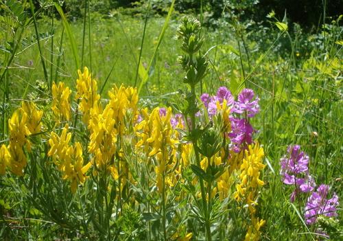 Цветы предгорья