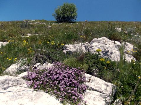 Лекарственные травы в Сербии