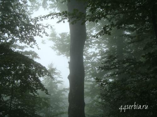 Стара Планина Сербия, лес