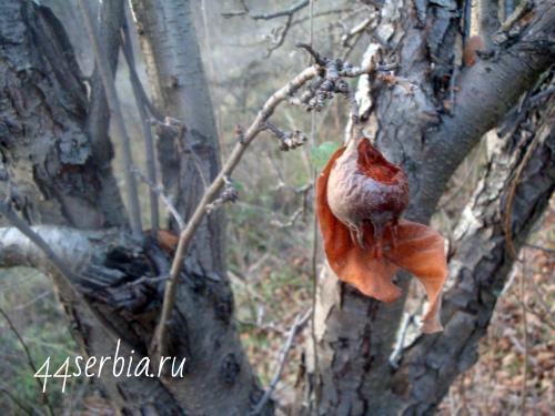 Мушмла, поеденная птицей