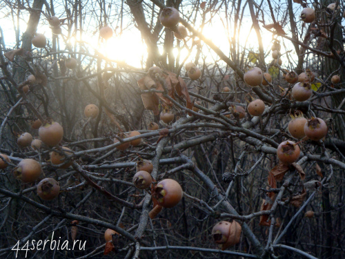 Мушмула на ветвях