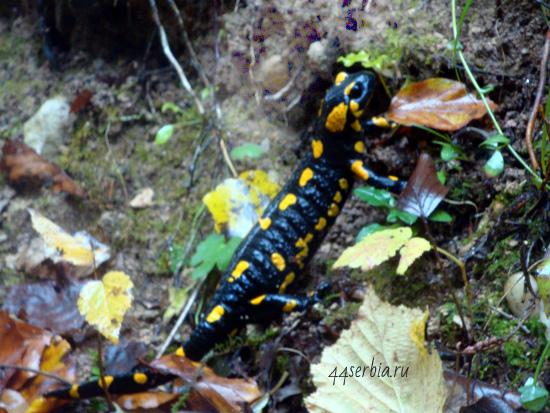Саламандра в природе, Сербия