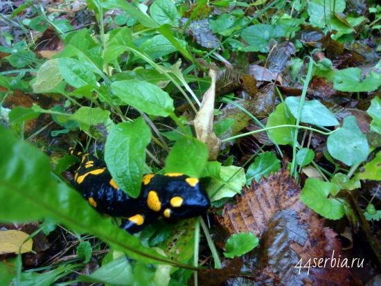 Живая саламандра