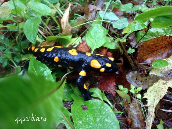Саламандра в природе