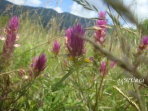Сербские травы названия