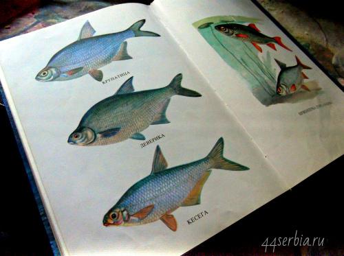 Виды рыб в Сербии
