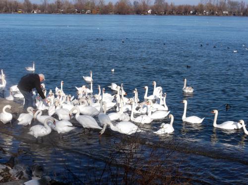 Лебеди_на_Дунае