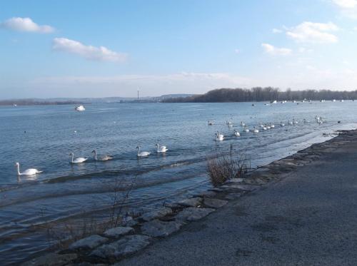 Лебеди в Земуне